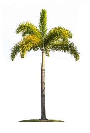 palm tree isolated on white background with clipping path photo