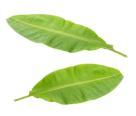 single leaf: Fresh Banana Leaf Isolated with clipping path Stock Photo
