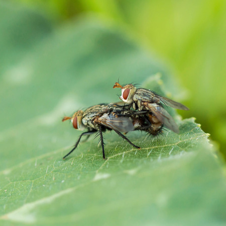 mating: Wild flies mating on leaves. Stock Photo