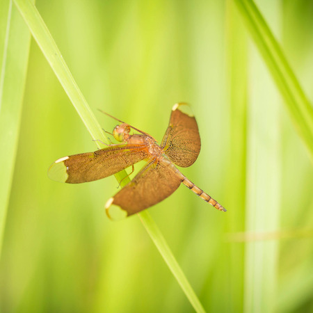dropwing: Resting red dragonfly on leaf in the nature.