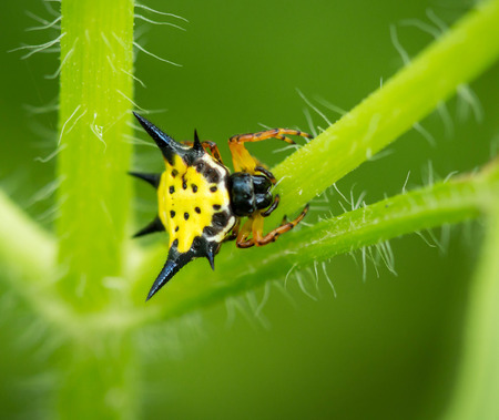 eight legs: Hasselt Spiny Spider, Yellow-black spider in nature