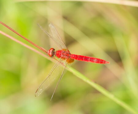 dropwing: Red dragonfly on leaf in the nature.