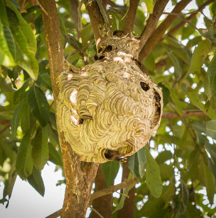 Wasps nest hanging in a tree Stock Photo