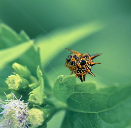 eight legs: Hasselt Spiny Spider, Yellow-black spider in spiderweb Stock Photo