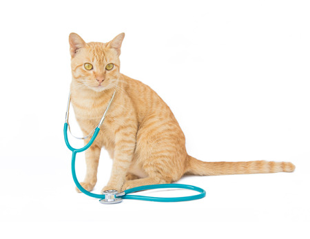 cat with a stethoscope isolated on white background