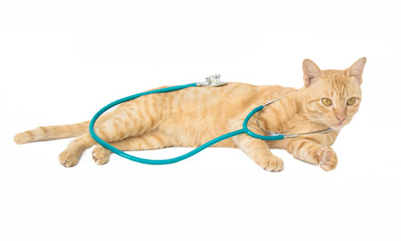 lies down: cat with a stethoscope isolated on white background