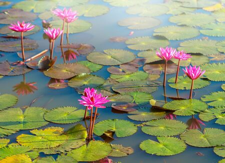lily pad: The beautiful Blooming lotus flower