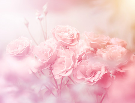 flower background: Pink roses in soft color, Made with blur style for background Stock Photo