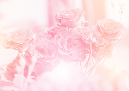 Pink roses in soft color, Made with blur style for background Stock Photo