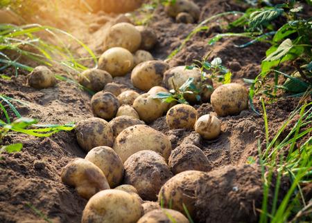 patatas: Papas orgánicas frescas en el campo Foto de archivo
