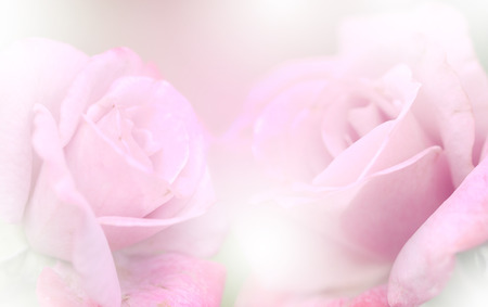 Pink roses in soft color, Made with blur style for background Banco de Imagens
