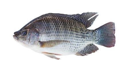 white nile: Nilo peces tilapia aislado en fondo blanco