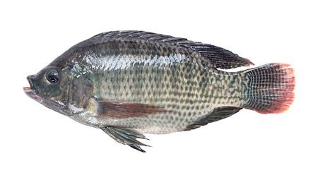 Nile tilapia fish isolated on white background