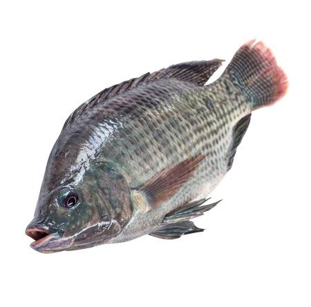 fish isolated: Nile tilapia fish isolated on white background