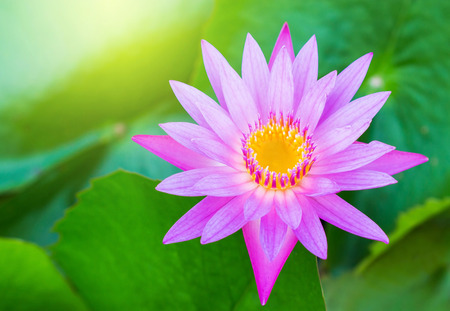 lotus flower: beautiful Blooming lotus flower Stock Photo