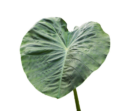 tropical evergreen forest: Elephant Ear Leaf Isolated on white background with clipping path