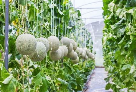 invernadero: Mel�n que crece en un invernadero en la granja de Tailandia.