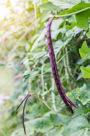 long bean: Purple yard long Bean in farm. Stock Photo