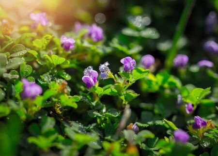 florescence: Small purple flowers on grass background. Stock Photo