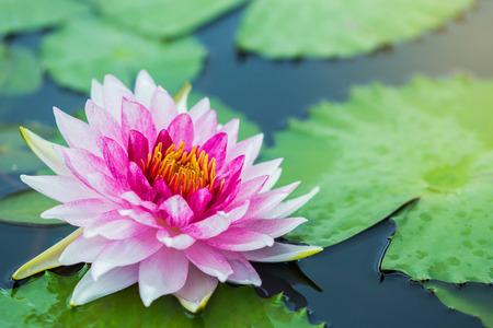 Blooming lotus flower in pond. Stock Photo