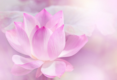 egyptian lily: Blooming lotus flower background.