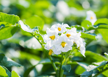 the arable land: Blooming potato bush with green in farm.