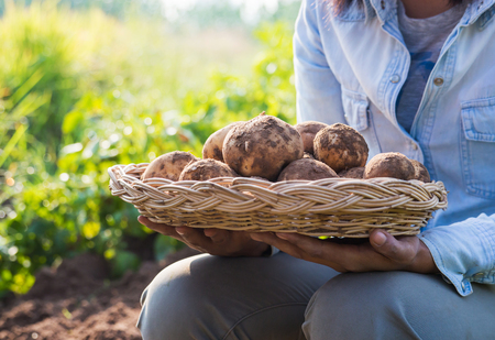 Farmer harvesting fresh potatoes f in a wicker basket. Stock Photo