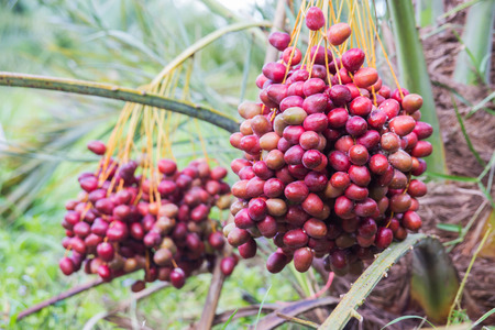 Dates palm branches with ripe on a palm tree,Thailand. Stock Photo