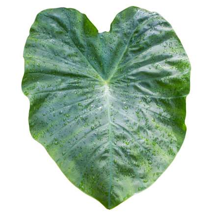 Elephant Ear Leaf with water drops Isolated on white background with clipping path.