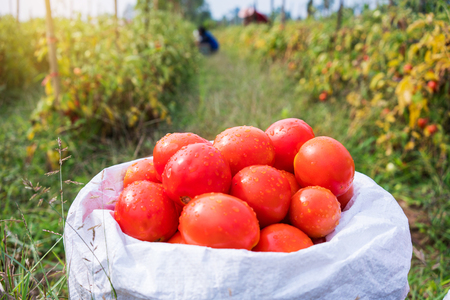 Fresh ripe red tomatoes are in white bag in farm.