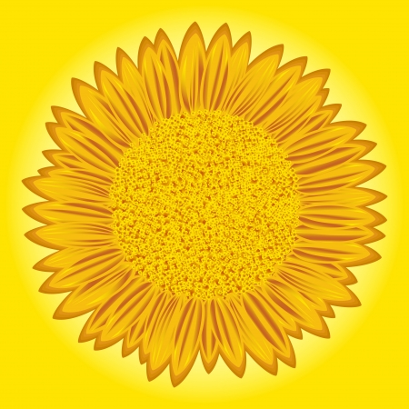 oily: Flowering big sunflower with detailed florets images on yellow background  Stylized hand drawing vector illustration Illustration