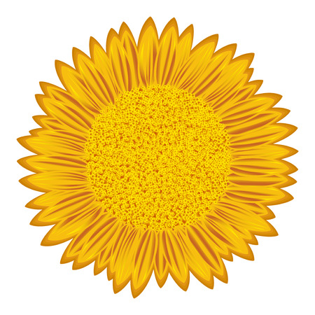 forage: Large flowering sunflower with detailed florets, hand drawing vector illustration