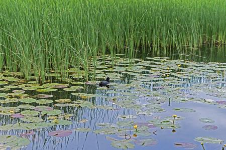 untouched: Nature reserve. Bulrush reflecting in a lake. Beautiful Lotus and small duck on the Lake. Spring. Untouched Nature. Small Duck swims on the Lake among Yellow Lotus Flowers.