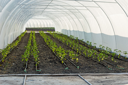 Drip Irrigation of Pepper Seedlings in the Greenhouse. Several rows of pepper seedings from which the water-hose for drip irrigation Stock Photo