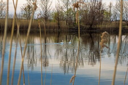 Two Swans on the lake in the nature reserve. Lake seen through the rushes.