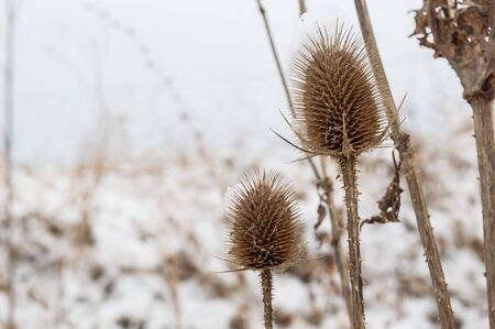 covered in snow: Winter plants, dried flowers with layers of snow. Bur in the frost. A wild plant in the snow, winter a cold day