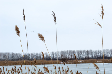 View of a Frozen Fishpond Through Reeds in Winter and two birds fly over the fishpond  blue sky Stock Photo