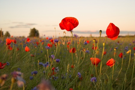 field of Poppies Stock Photo - 17702643