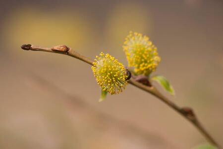 Close-Up Shot of Willow Branch with Buds