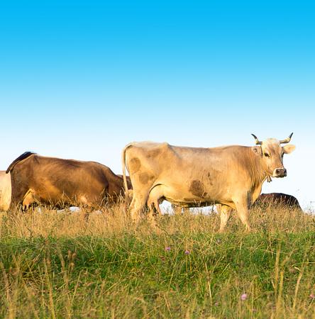 Cows graze in the field. Autumn landscape. Close-up. Stock Photo