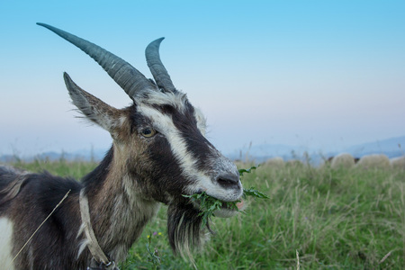 gray goat chews the grass in the field. Close-up, portrait. Banco de Imagens