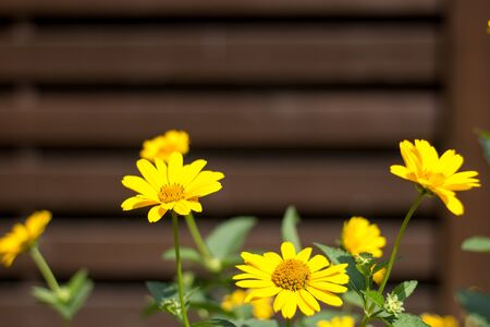 Marigold flowers on a background of a fence in a sunny summer day, rustic style, outdoors.
