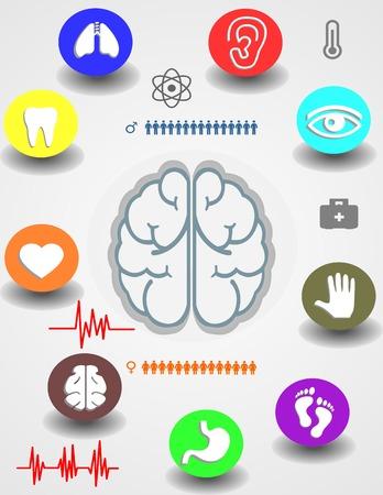 coraz�n y cerebro: Medicina, salud y iconos y elementos de datos, informaci�n gr�fica coraz�n, cerebro, ri�ones y otros �rganos humanos s�mbolos Vectores