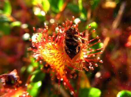 predatory insect: Sundew plant. Sundew eat a bug. Stock Photo