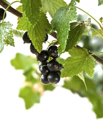 blackcurrant isolated Stock Photo