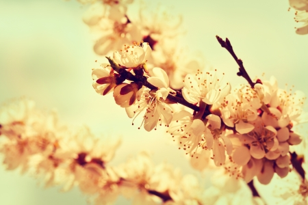 branches of cherry blossoms in vintage style