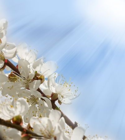branches of cherry blossoms illuminated by sun