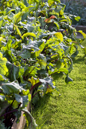 kitchen garden: garden bed with beets in a kitchen garden Stock Photo