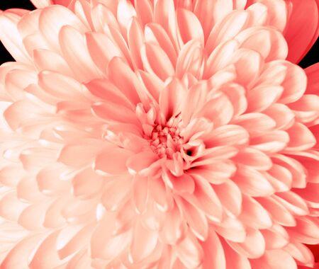 Peach chrysanthemum closeup
