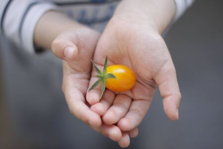 Yellow cherry tomato lies in babys palms. Blurred background. Close up